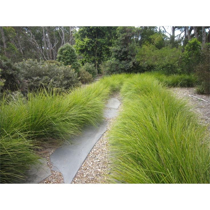 Lomandra Tanika to grass swathes at Vincent Street frontage, Hobson St courtyard and Hobson St rear garden
