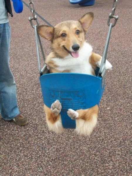 Those swings were made for corgi butt.: Cutest Dogs, Pet, Happy Puppys, Corgi, Baby Animal, Happy Pictures, Little Puppys, Smile, Swings Sets