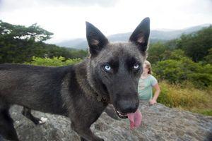 Blue Eyed Husky Malinois Mix Shades Of Silver