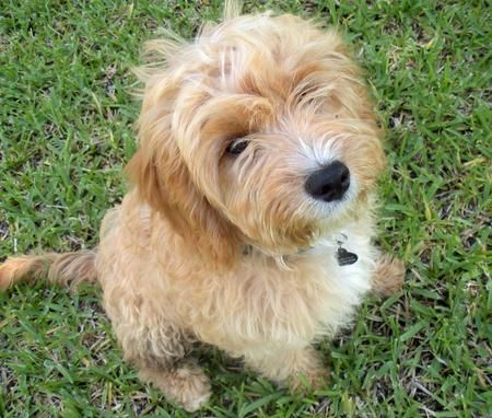 Indiana the Golden Retriever, Cavalier King Charles, Poodle Mix.