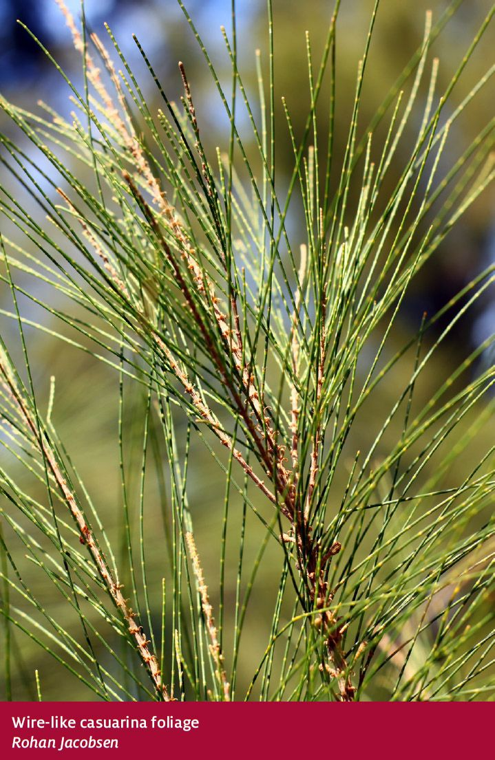 Forests Australia Casuarina forest - Department of Agriculture and Water Resources