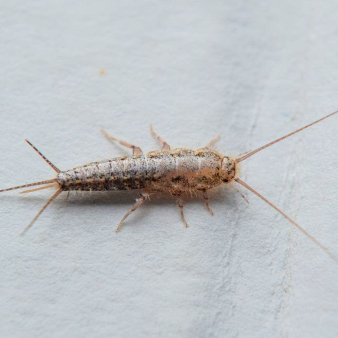 3bdad794fd21cedb2c72a743000d7517 - How To Get Rid Of Silverfish In House Uk
