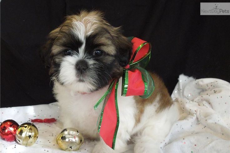 shih tzu puppies | Shih Tzu Puppy for Sale: BELLA IS SOLD !! She is staying in MO ...