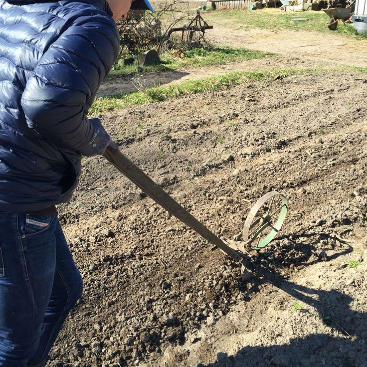 Organic flower farming, slowflowers, vildevioler.dk, April 2016