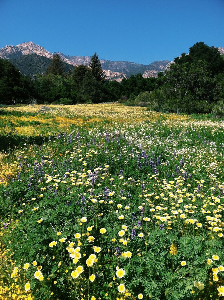16 Best Meadow Revival Images On Pinterest Santa Barbara Botanical Gardens And Bloom