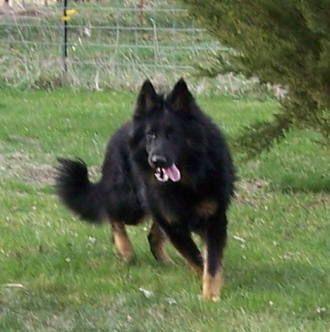 Long Coat German Shepherd                                                                                                                                                                                 More