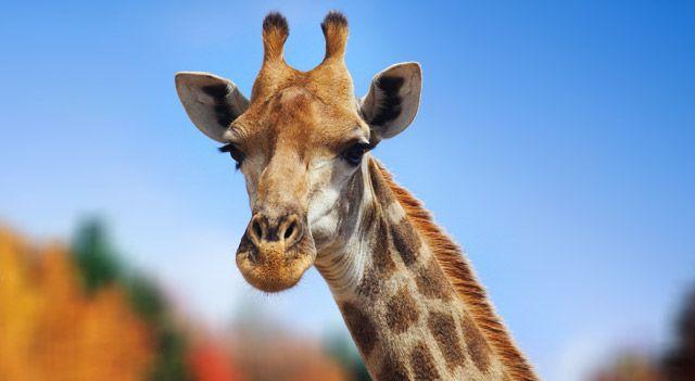 Giraffe - kids.nationalgeographic.com