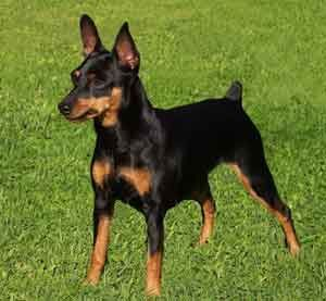 Miniature Pinscher- this looks like the dog we are getting. Can't wait!