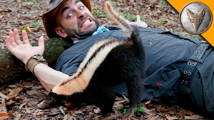 An Adorably Spunky Baby Skunk Climbs Over Coyote Peterson Before Morning Cardio Exercises