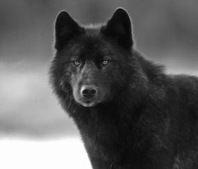 "Meet Romeo.  Hero of the book ""A Wolf Called Romeo"""