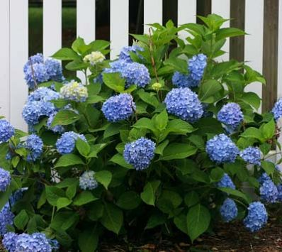 This Hydrangea Owns the Color Blue - The Nikko Blue Hydrangea is famous for:  • Unique blue flowers    • Bright, long-lasting blooms    • Low-maintenance  • Looks great anywhere   Hydrangeas are among the showiest of all the flowering shrubs, and the Nikko Blue Hydrangea is a superstar. Spectacular in any...