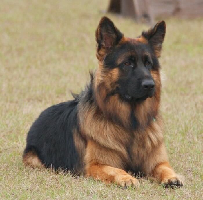 600 Best German Shepherd Names Male Female Name Ideas Petpress In 2020 German Shepherd Names Long Coat German Shepherd Long Haired German Shepherd