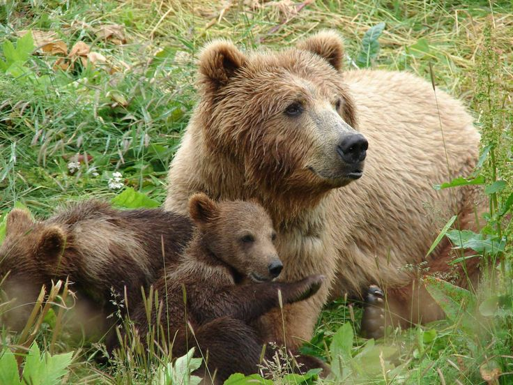 Mother bear - very protective of her cubs