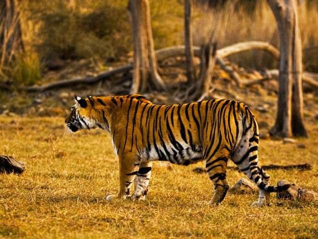 The mighty Tiger in his home, at RANTHAMBORE NATIONAL PARK