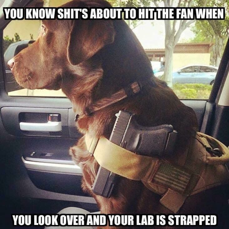 meme-you-know-shits-about-to-hit-the-fan-when-you-look-over-and-your-lab-is-strapped.jpg (734×734)