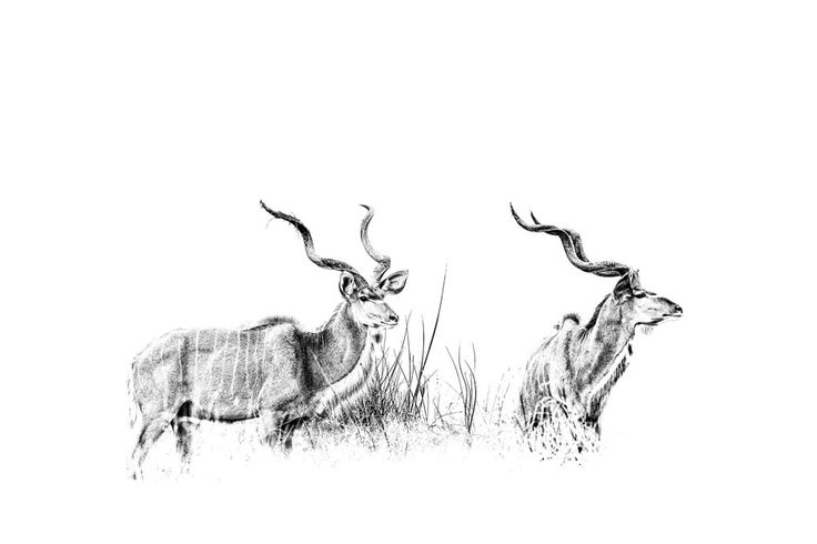 Greater kudu bull in a B&W african wildlife print. BW photographic image by wildlife photographer Dave Hamman