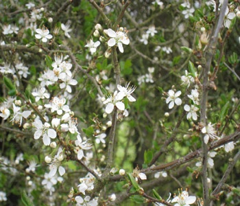 Blackthorn hedge plant in flower (Prunus spinosa)