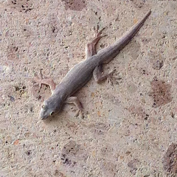 its not Bali without a cunning gecko chirping its Geh-Koh call all night
