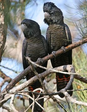 Parrot - A pair of Red-tailed Black-Cockatoos. - from Bird Life Australia