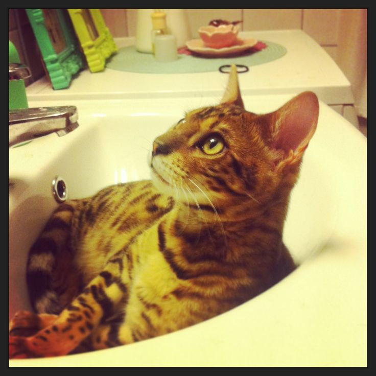 Why do Cats like to sleep in the sink I Wonder ?? Bengal cat