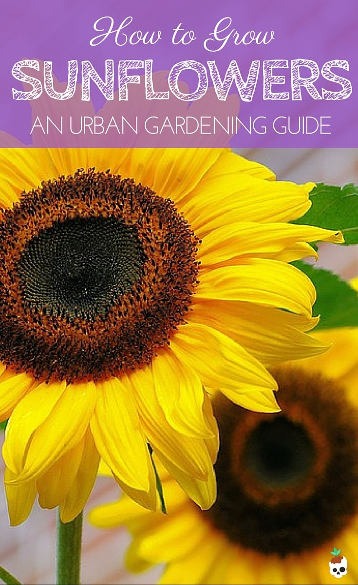 How to grow sunflowers in containers for the urban garden. Lobotany.com