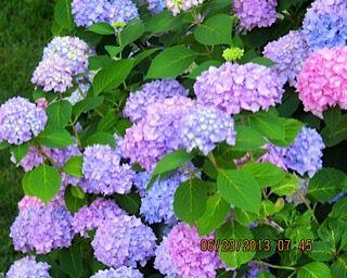 Late June Hydrangea in Full Bloom