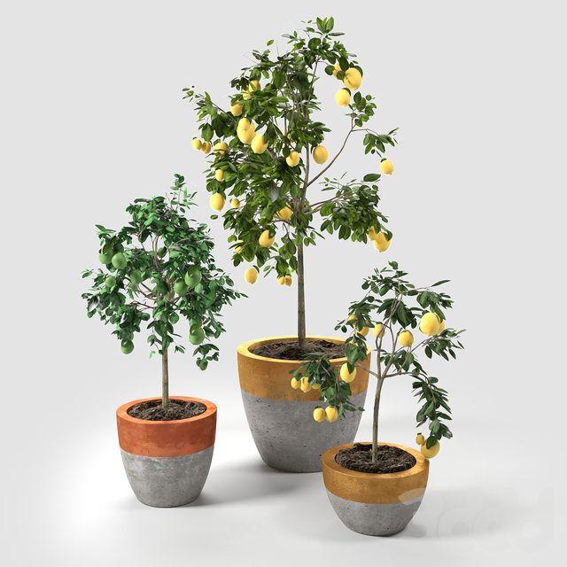 Lime and Lemon Trees set_02 | Горшки