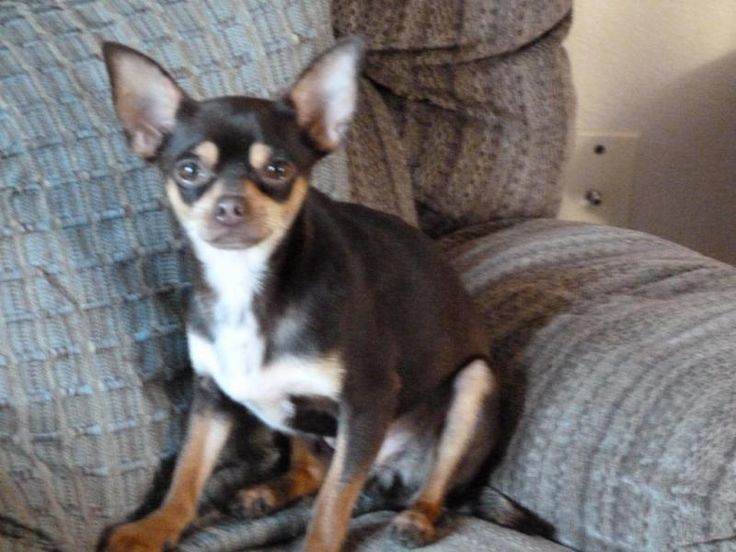 Adoptable Chihuahua Dogs In B R