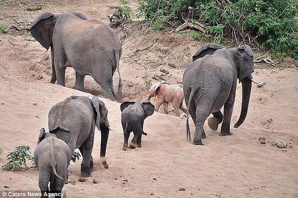✧✶✧ ROSA ELEFANT 5. SELTENER BABY-ALBINO-ELEFANT !! SO SÜSS !! ✧✶✧ …   – ELEPHANTS ✧✶✧  {L,k} YA GOTTA LOVE UM !!!!