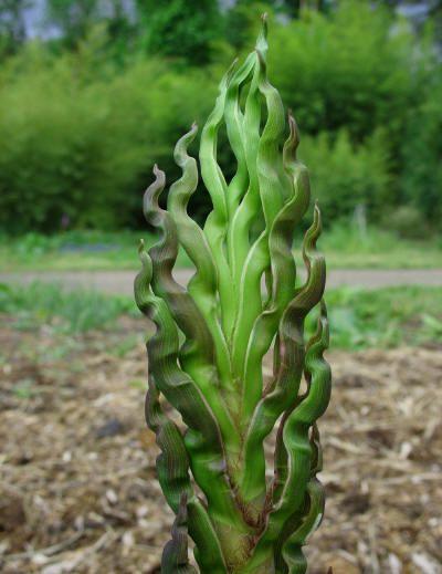 "Phyllostachys nigra ""Black Bamboo""                                                                                                                                                                                 More"