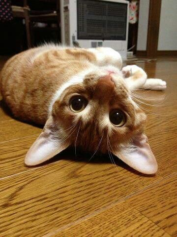 116 best funny cat poses images on pinterest  funny