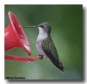 colibri du quebec - Recherche Google