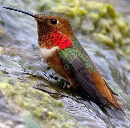 Male Allen's hummingbird ❤