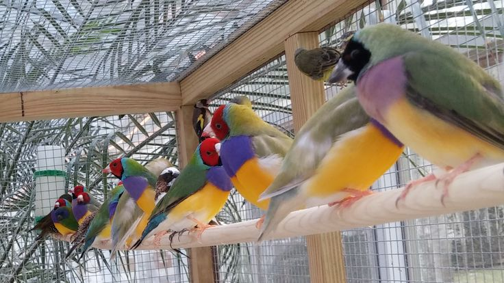 Gouldian Finches for Sale