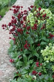 Astrantia 'Moulin Rouge' - window border