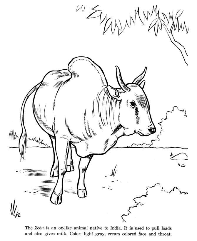 Zebu drawing and coloring page | MADAGASCAR | Pinterest ...