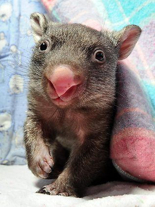 Caddy the eight-month-old baby wombat loves living in her little 'shack' at the Warrandyte Wildlife Shelter. Picture: Craig Borrow Source: Herald Sun