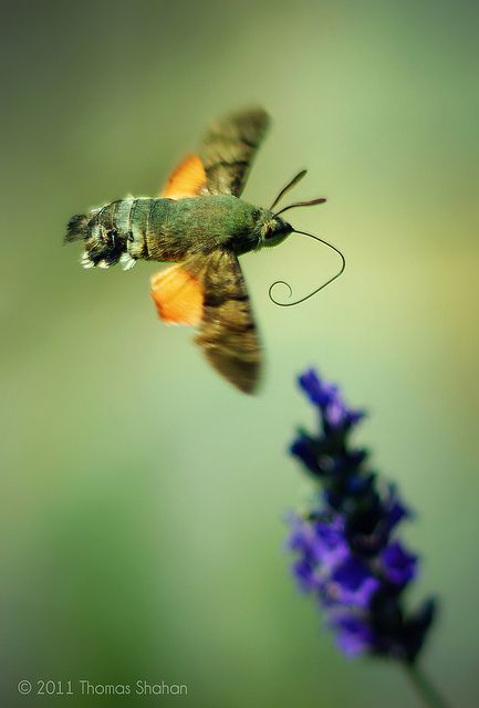 Hummingbird Hawk Moth. I saw one just like this at the Japanese Tea Gardens in San Antonio, Texas.