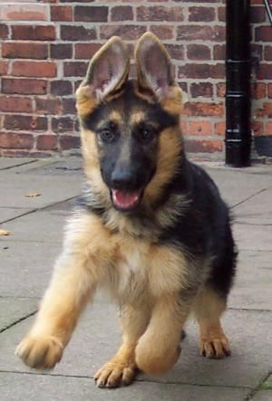 """Sorento Mystique & Conival Indigo German Shepherd Puppy"" ---- [Photograph by BACHMEIER GSD - September 3 2005]'h4d'120828"