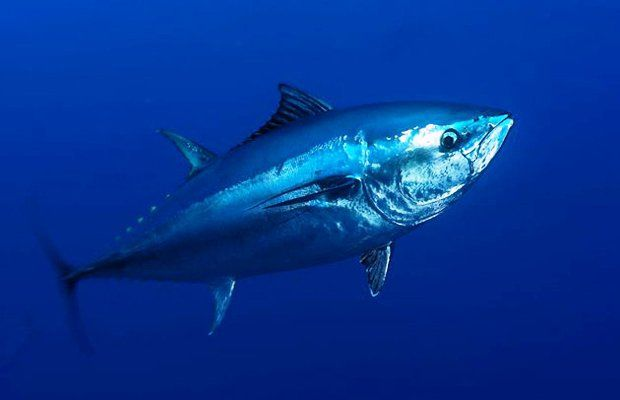 Pacific bluefin tuna fishing could be curtailed under a proposed move to protect and rebuild dwindling populations of the fish.