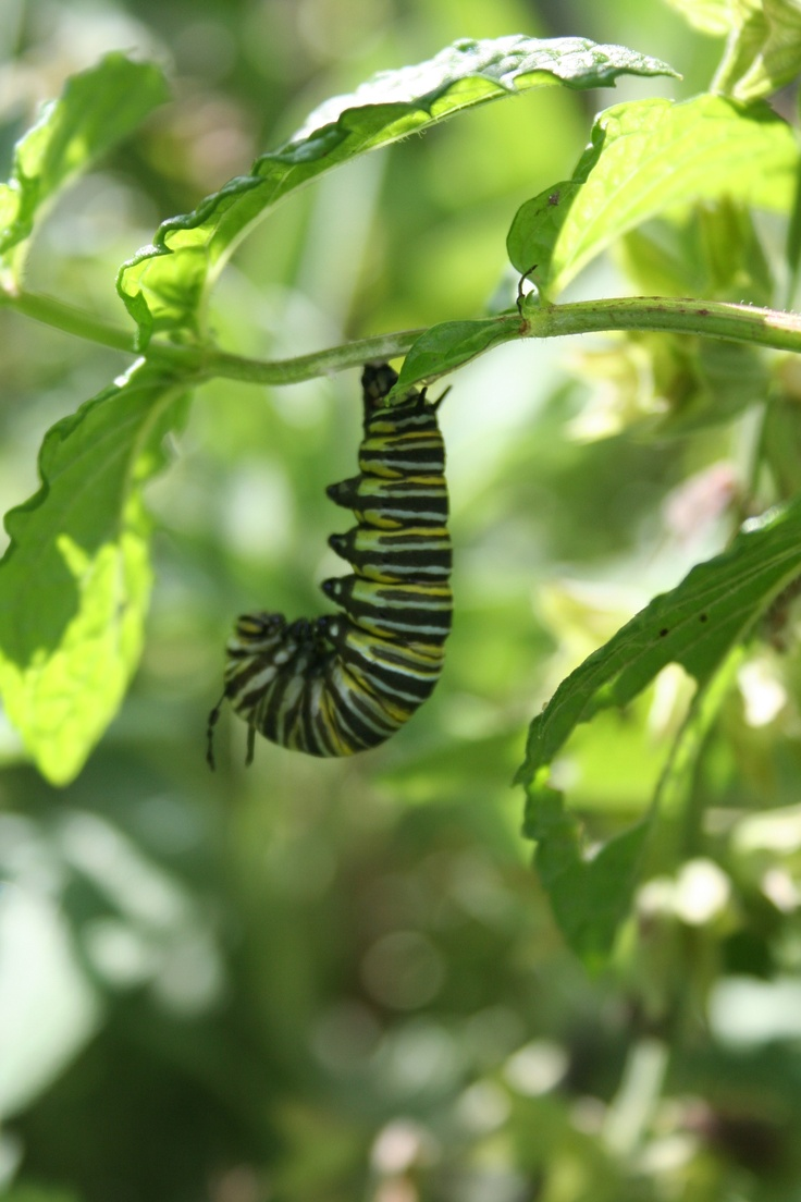 Avalisa letter upper case t stretched wall art - The Monarch Caterpillar Hangs Upside Down Like The Letter J We Get Up