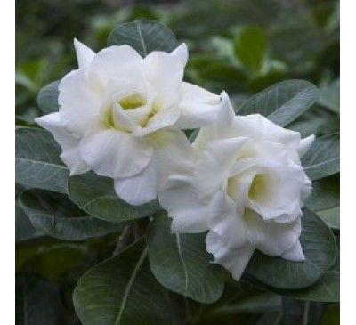 Adenium White Double530