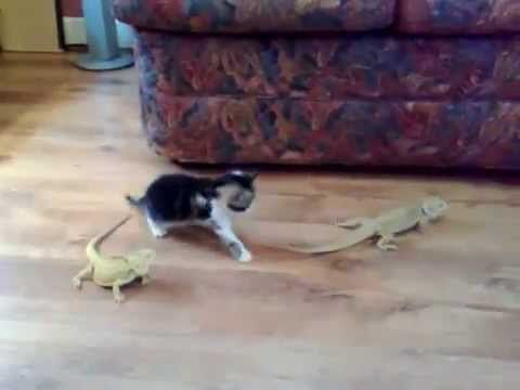 Cat Gets Scared By Iguana