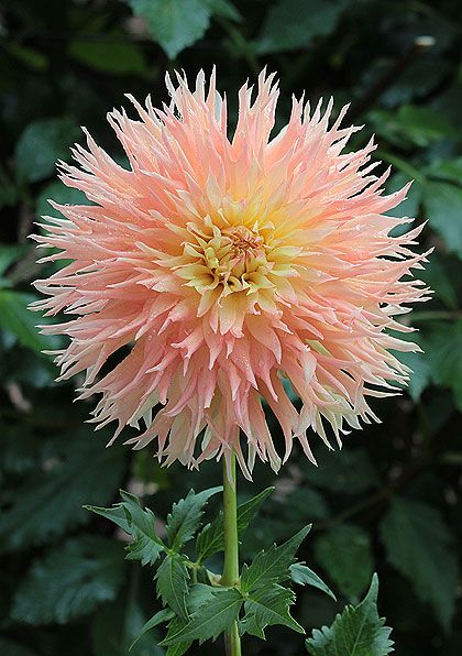 Dahlia 'Marcia Pat'. I really ought to order some Dahlias next year, from a good supplier. Seems all that I purchased pre-bagged in 2014, weren't anything at all, like the photo on the package.