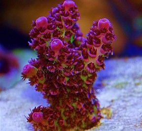 SPS Corals: Hard Coral and Stony Corals for the Reef Aquarium
