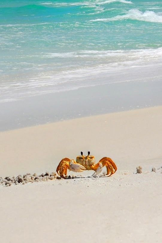 Just like my little crabby friends from OBX - I think it might be one of them!!