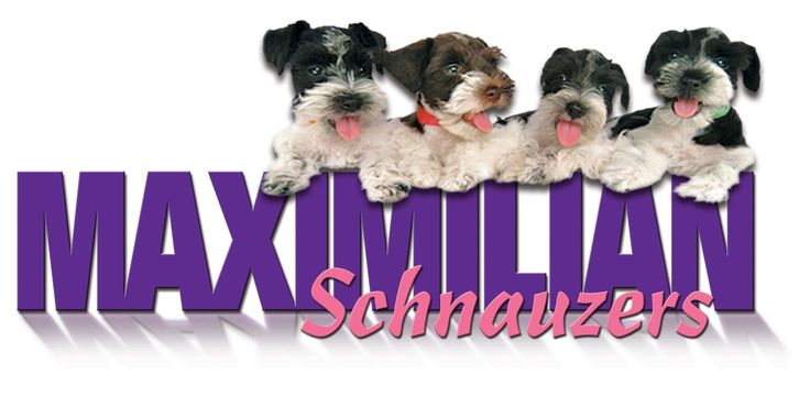 Breeding rare colored Schnauzers, Mini, toy and teacup sizes.