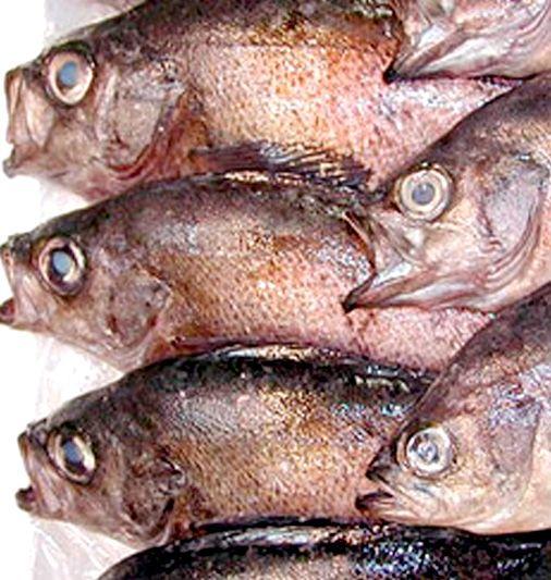 【産直・お取り寄せ メバル中サイズ(生)2尾】高級魚として知られるメバル。煮付け、塩焼き、唐揚などどんな風に調理しても最高の魚です。メバルは腹がきれいなので内臓はそのままで大丈夫です。新鮮なメバルはお刺身でも珍重されています。 商品ページ→ http://tottori.shops.net/item?itemid=18175