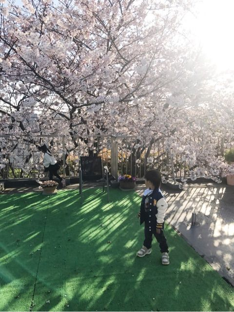 海老さまの実家の桜2