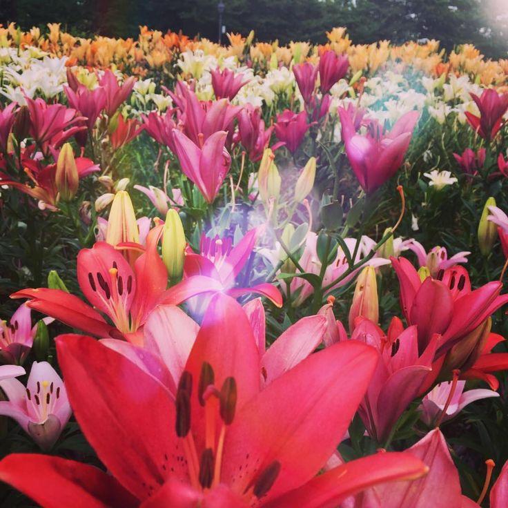 """��ゆり(百合 )""""Lily"""" ��立てば芍薬座れば牡丹歩く姿は百合の花 美しい女性の立ち居振る舞いを例えたことわざ。芍薬はすらりとした茎の先に花を咲かせることから立ち姿の女性、牡丹は枝分かれした横向きの枝に花を咲かせることから座った女性、百合は風に揺れる姿が美しいことから女性が歩く姿を表していると言われています。 #東北 #山形県 #ゆり園 #ユリ #百合 #花好きな人と繋がりたい#花のある暮らし #スマホ写真 #景色 #季節の花 #はなまっぷ #花好き #花言葉 #花フレンド  #flowers #flowerstalking #garden #beautifulview #followme #flower #nature_special_ #Lily http://misstagram.com/ipost/1563667676970500744/?code=BWzQ3ewlkKI"""